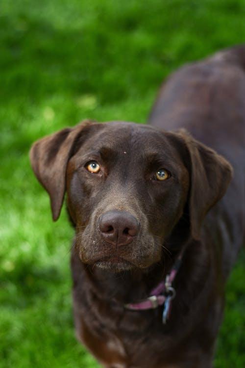 Chocolate Labrador Retriever on Green Grass Field