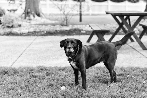 Grayscale Photo of Black Labrador Retriever Standing on Grass Field