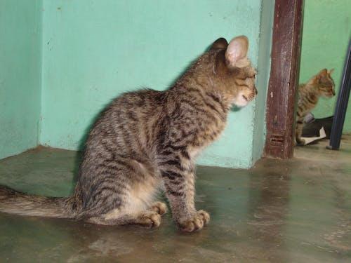 Бесплатное стоковое фото с кошки, сидишь как зеркало
