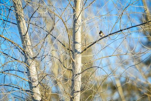 Foto stok gratis batang pohon, Birch, cabang