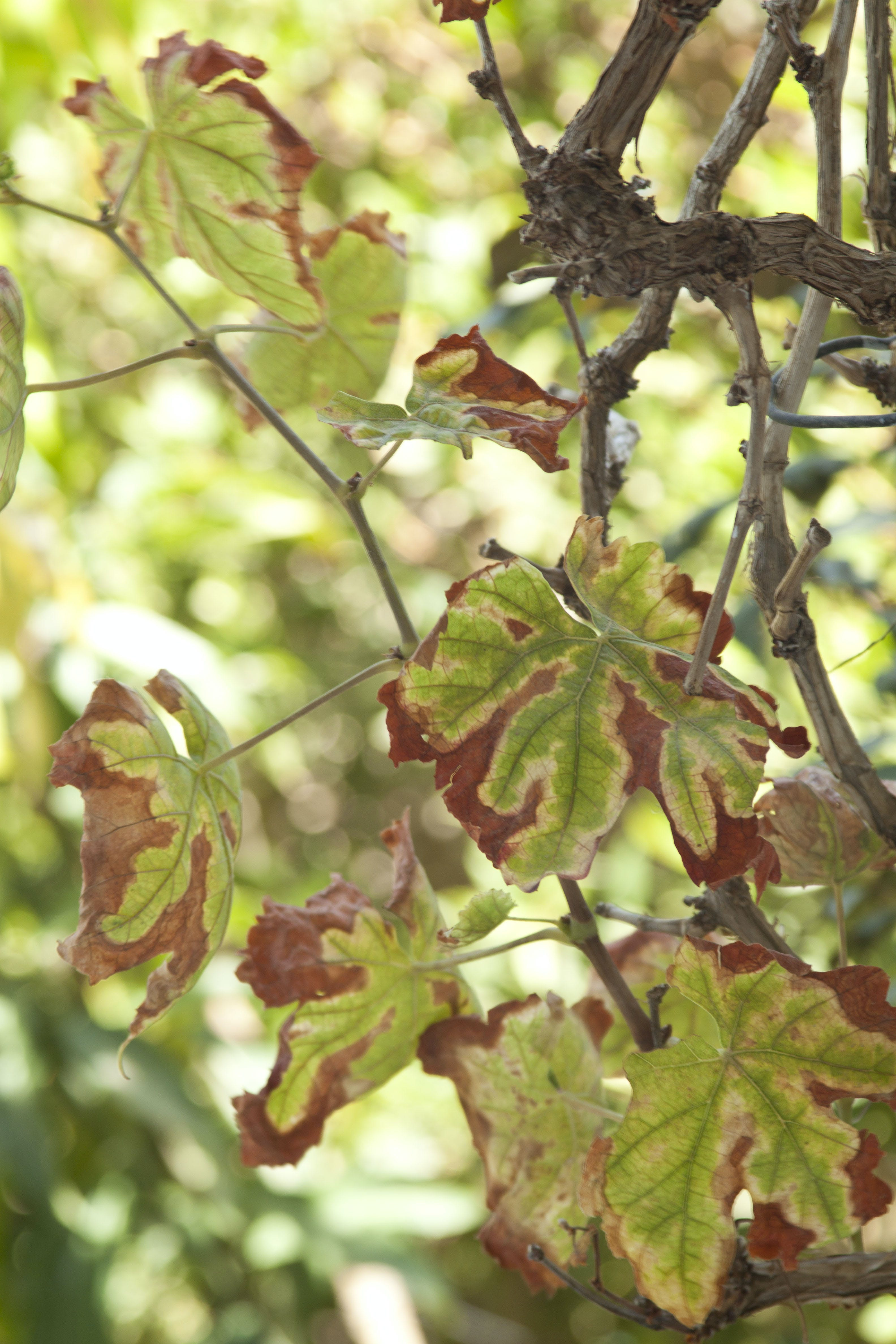 Free stock photo of braces, dry leaf, dry leaves, green
