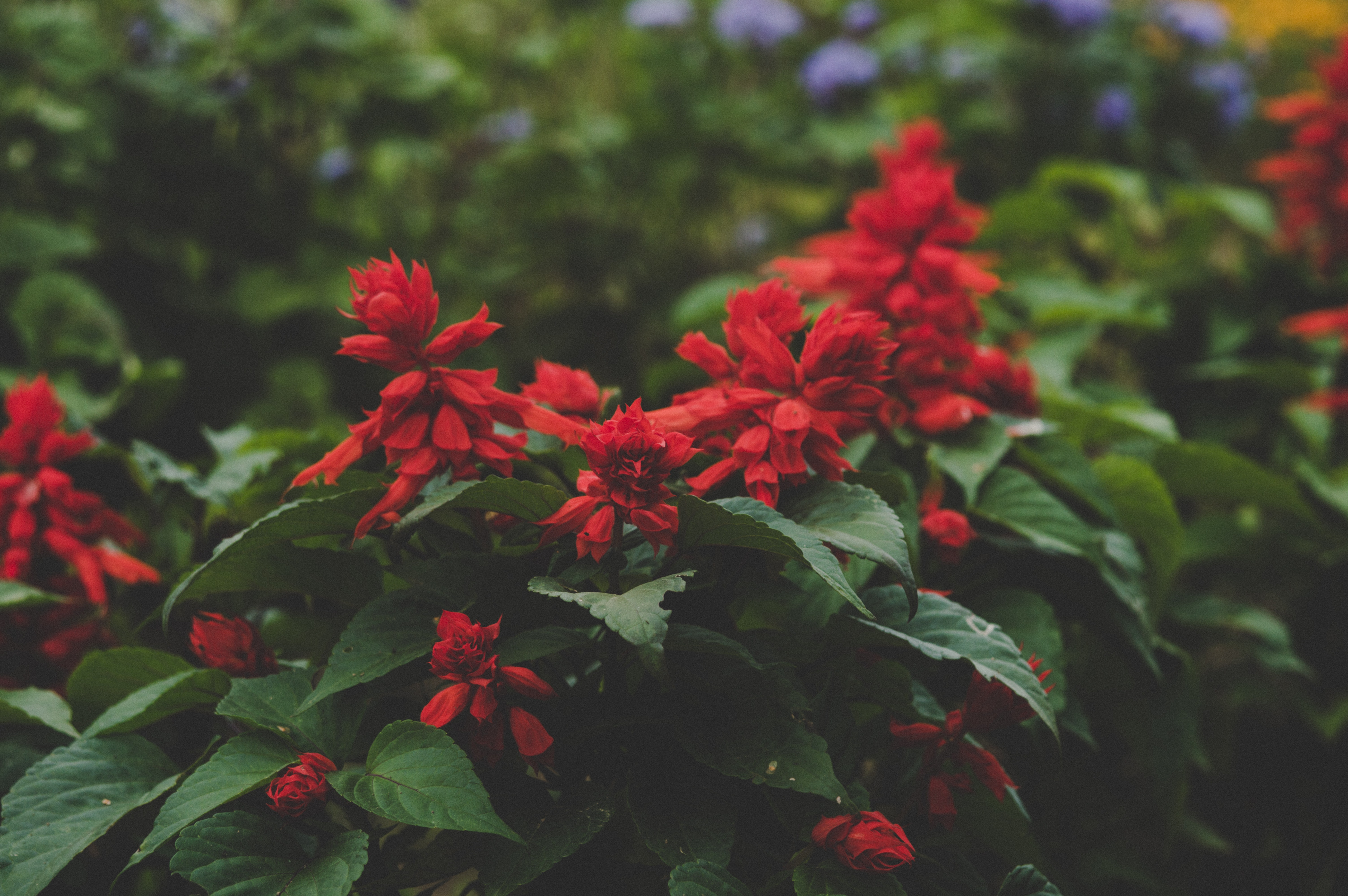 Red Flowerss 183 Free Stock Photo