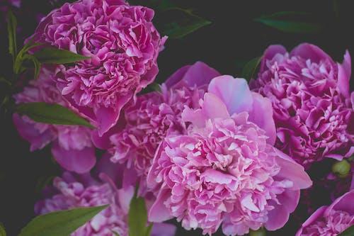 ピンクの花, フラワーズ, フローラ, ボタニカルの無料の写真素材