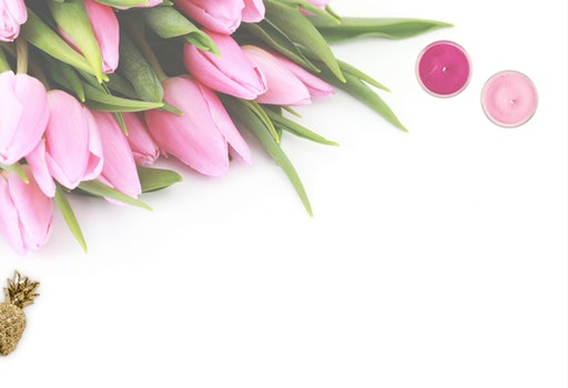 Pink Tulip Flowers With White Background