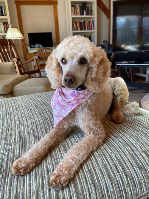 Obedient Poodle resting on couch at home