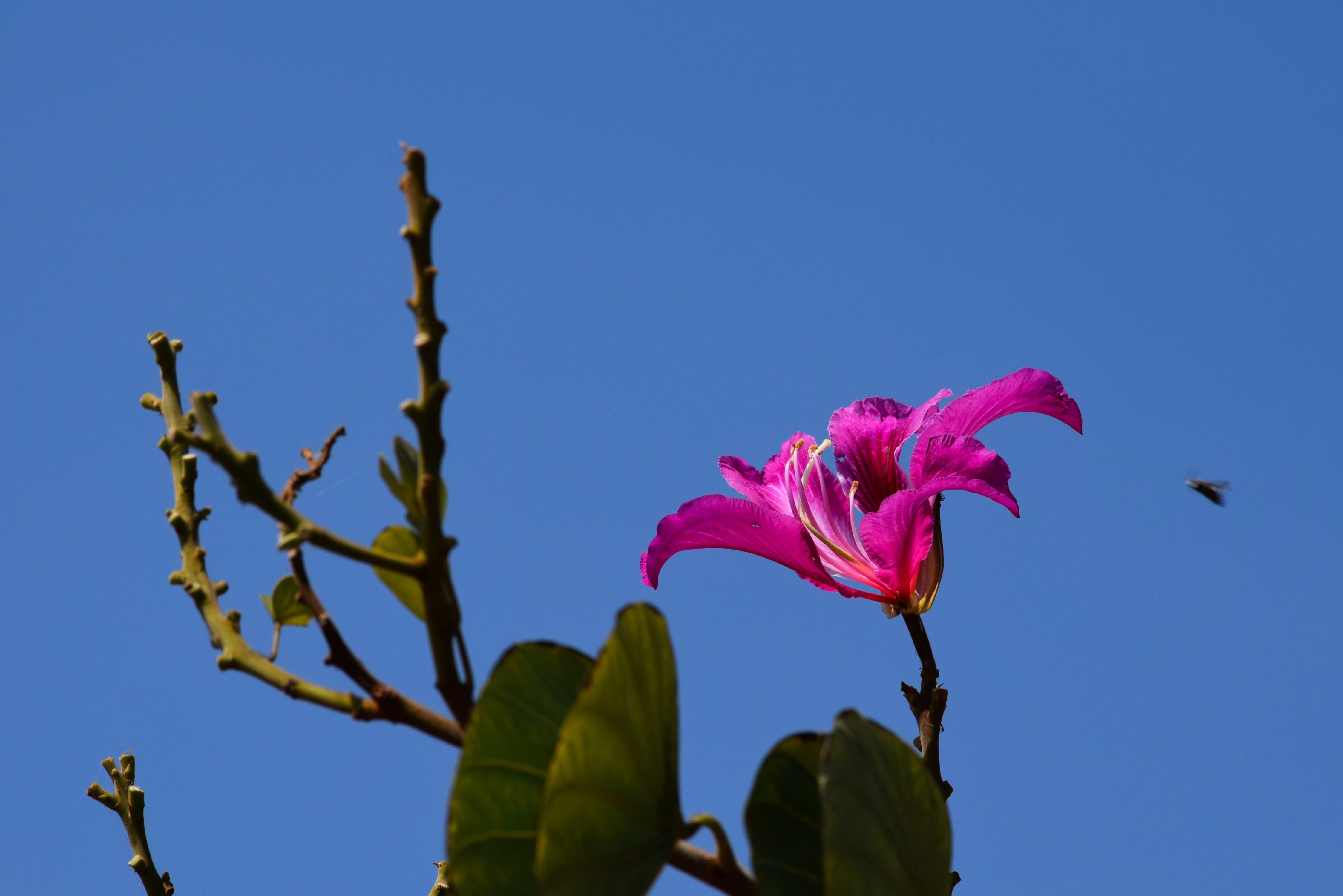 drosera, vackra blommor