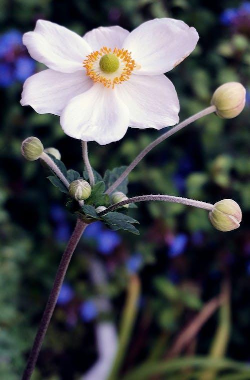 Ingyenes stockfotó bezár, évszak, fehér virág témában