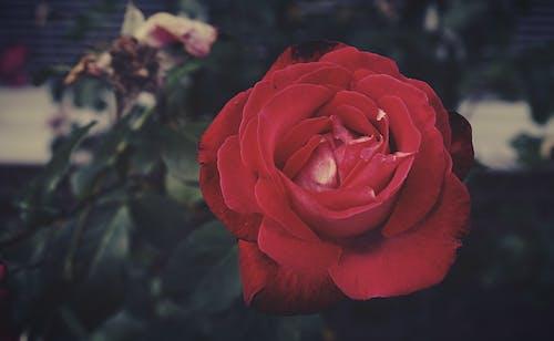 Immagine gratuita di amore, anniversario, botanico