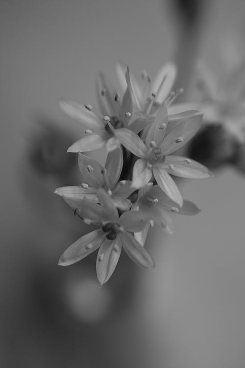 Ornithogalum Flowers in Black and White