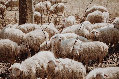 White Sheep on Brown Grass Field