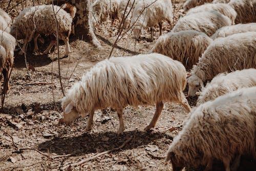 White Sheep on Brown Ground