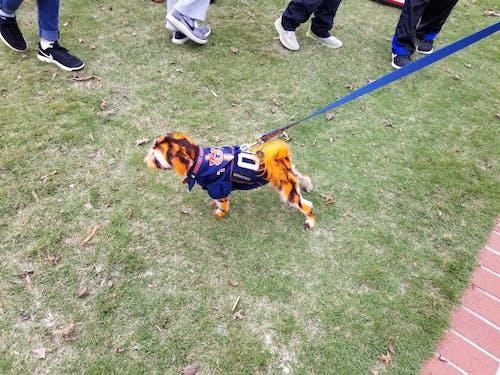 奥本老虎队, 染过的头发, 狗 的 免费素材图片