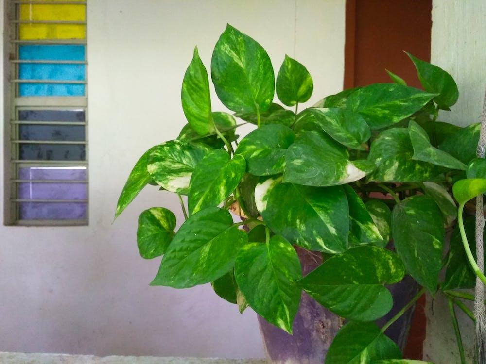 Free stock photo of money plant