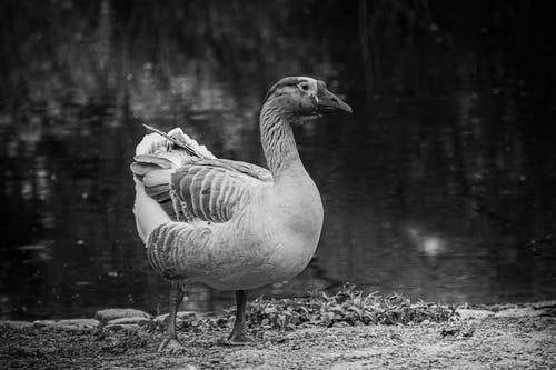 A Goose by the Lake in Black and White