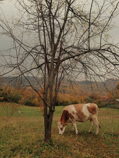 A Cow Grazing Near a Leafless Tree