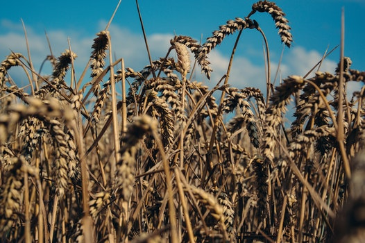 Free stock photo of field, agriculture, farm, corn