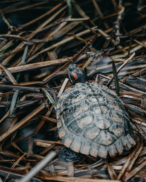 Brown and Black Turtle on Brown Grass