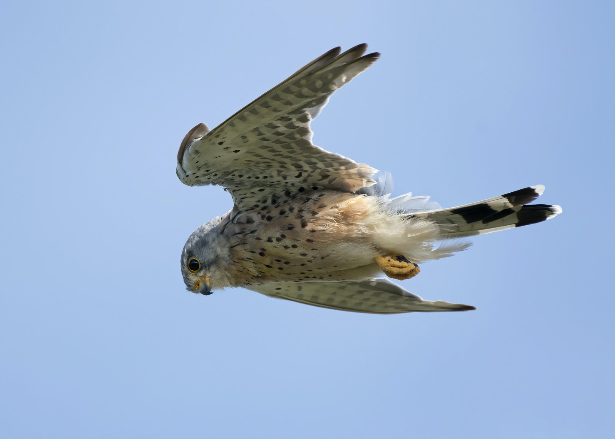 Free stock photo of bird of prey, blue sky, hover, kestrel