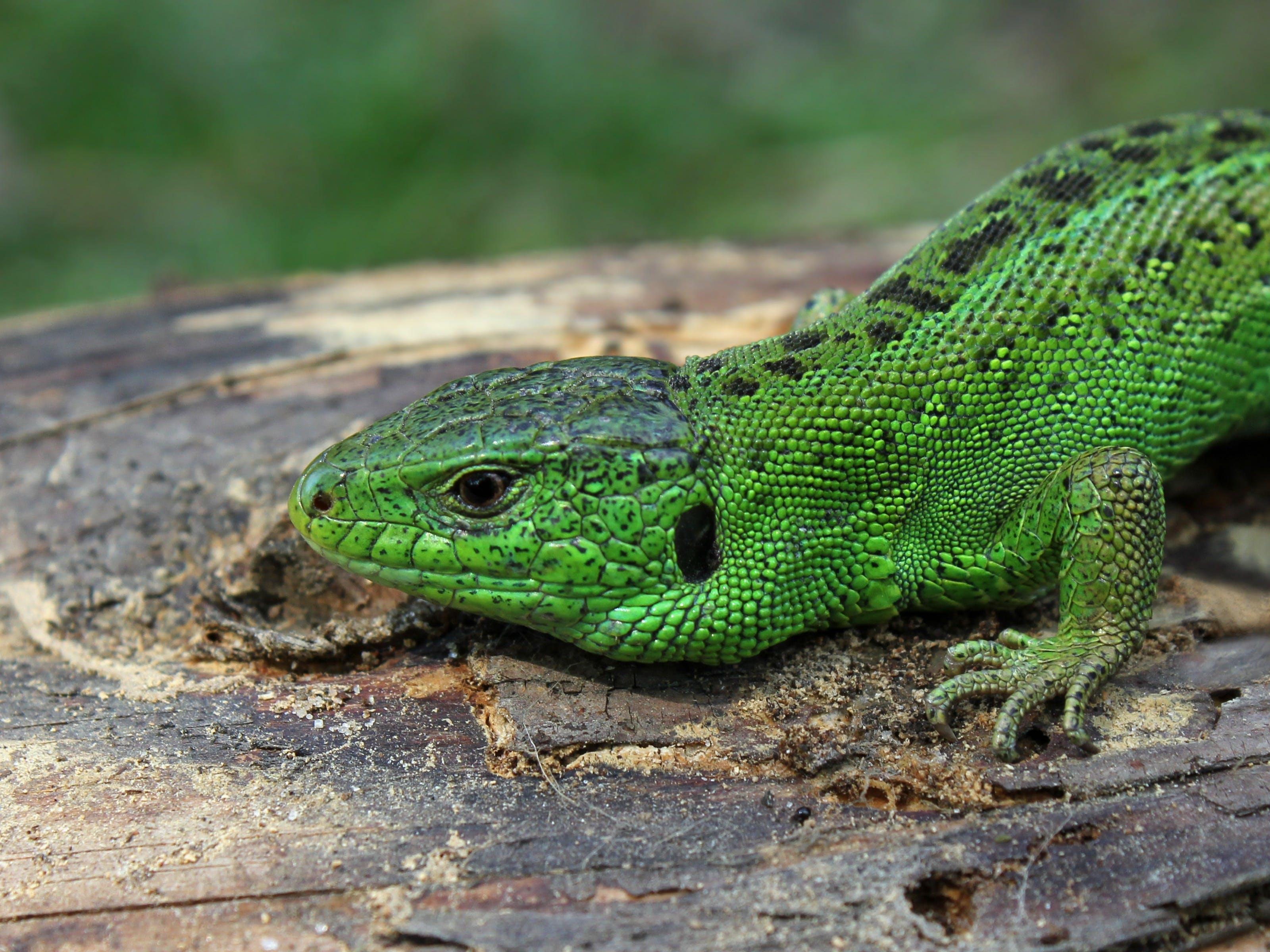 Darmowe zdjęcie z galerii z jaszczurka, makro, zbliżenie, zielony