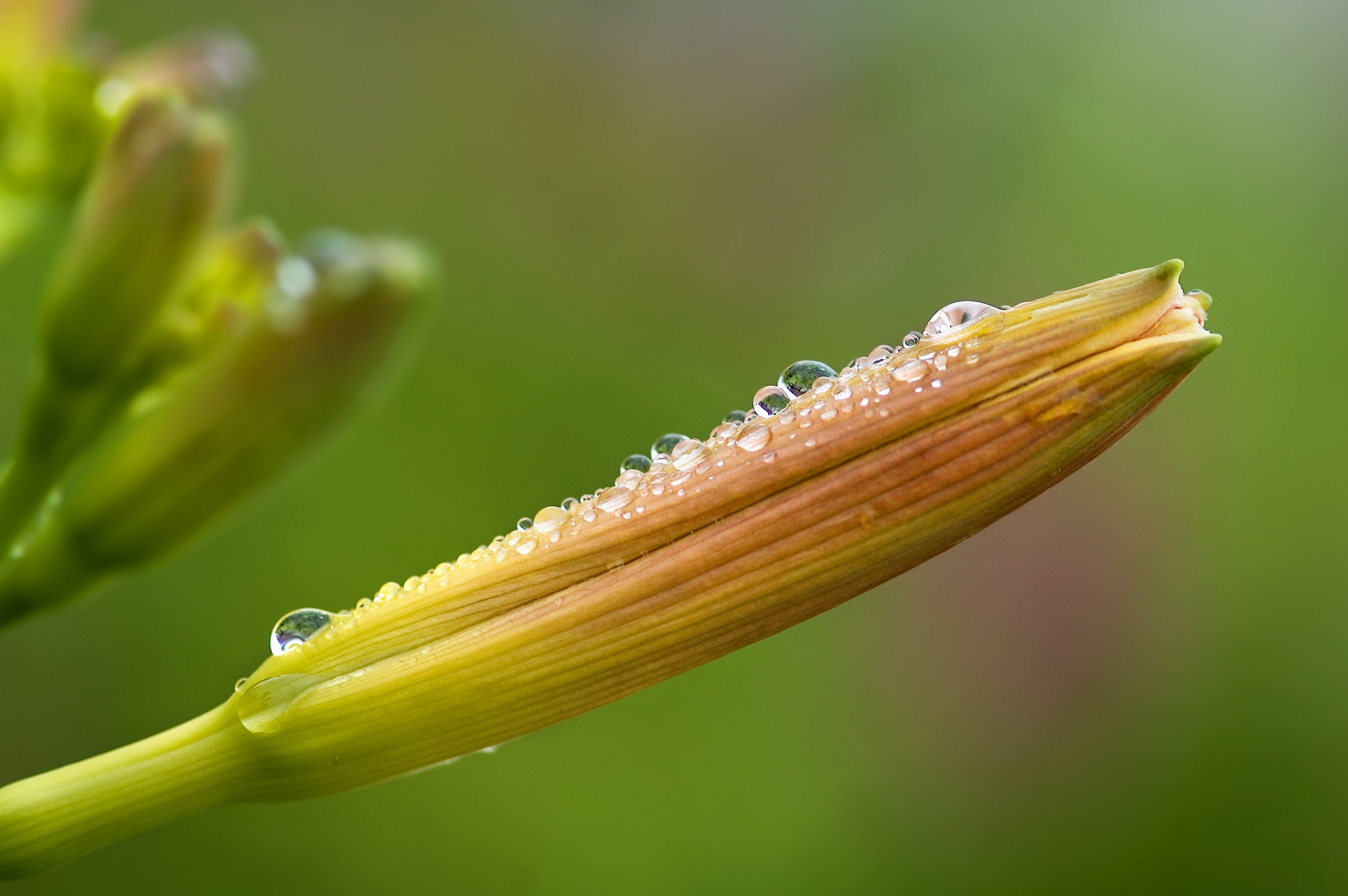 Free stock photo of plant, dew, wet, flower