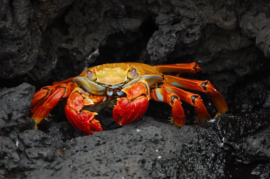 Red and Gold Crab on Rock Selective Focus Photography