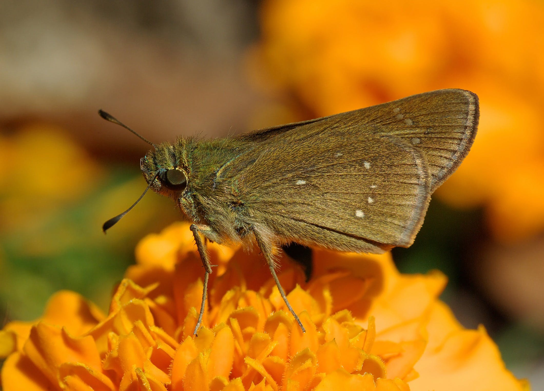 Black Butterfly on Top Orange Multi Petaled Flower Close Up Photography