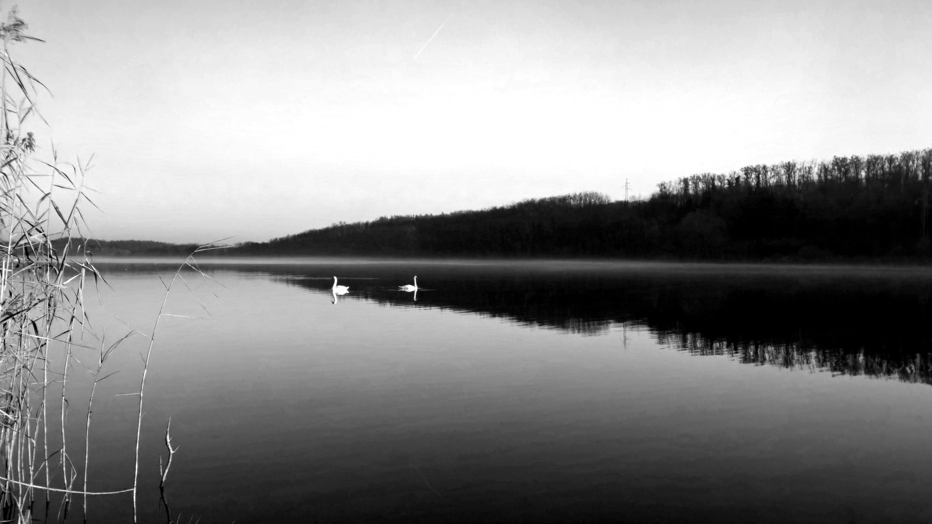Free stock photo of lake, home, swan, blackandwhite