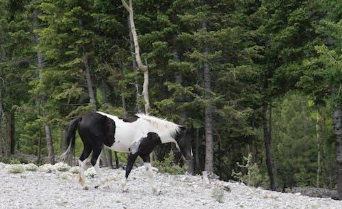 Foto d'estoc gratuïta de cavall, cavall de muntanya, cavall salvatge, pasturant