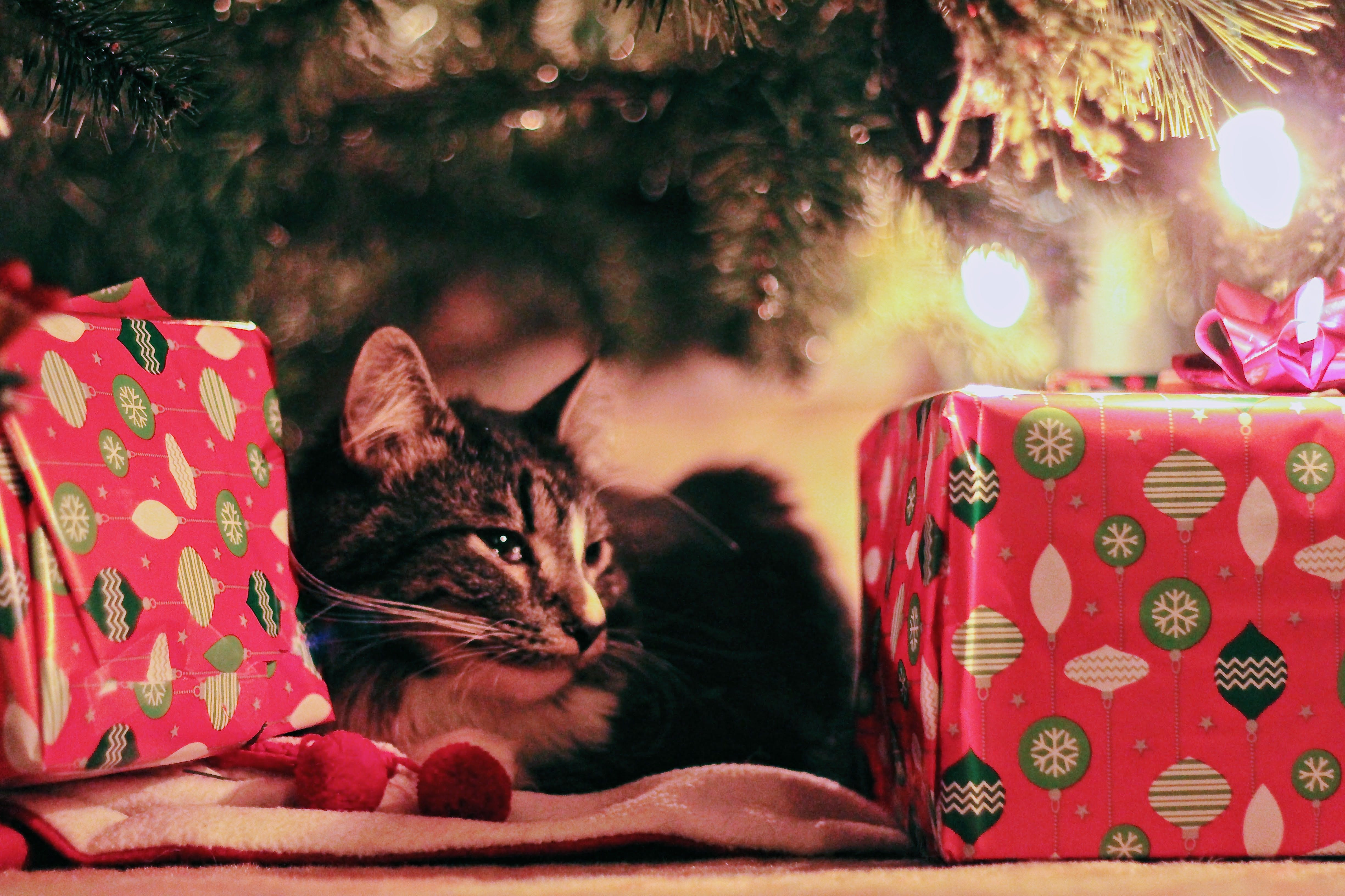 Tabby Cat Lying Under Christmas Tree With Gifts