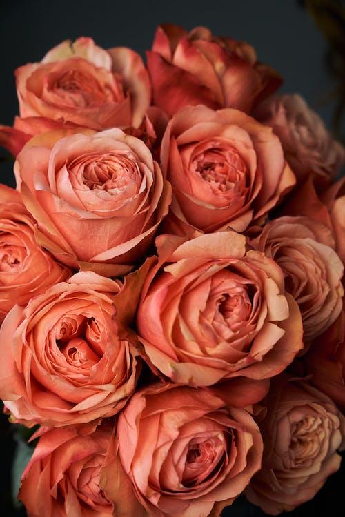 植物群, 特寫鏡頭, 玫瑰 的 免費圖庫相片