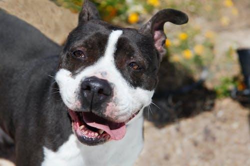 Foto d'estoc gratuïta de gos, gos feliç, pit bull