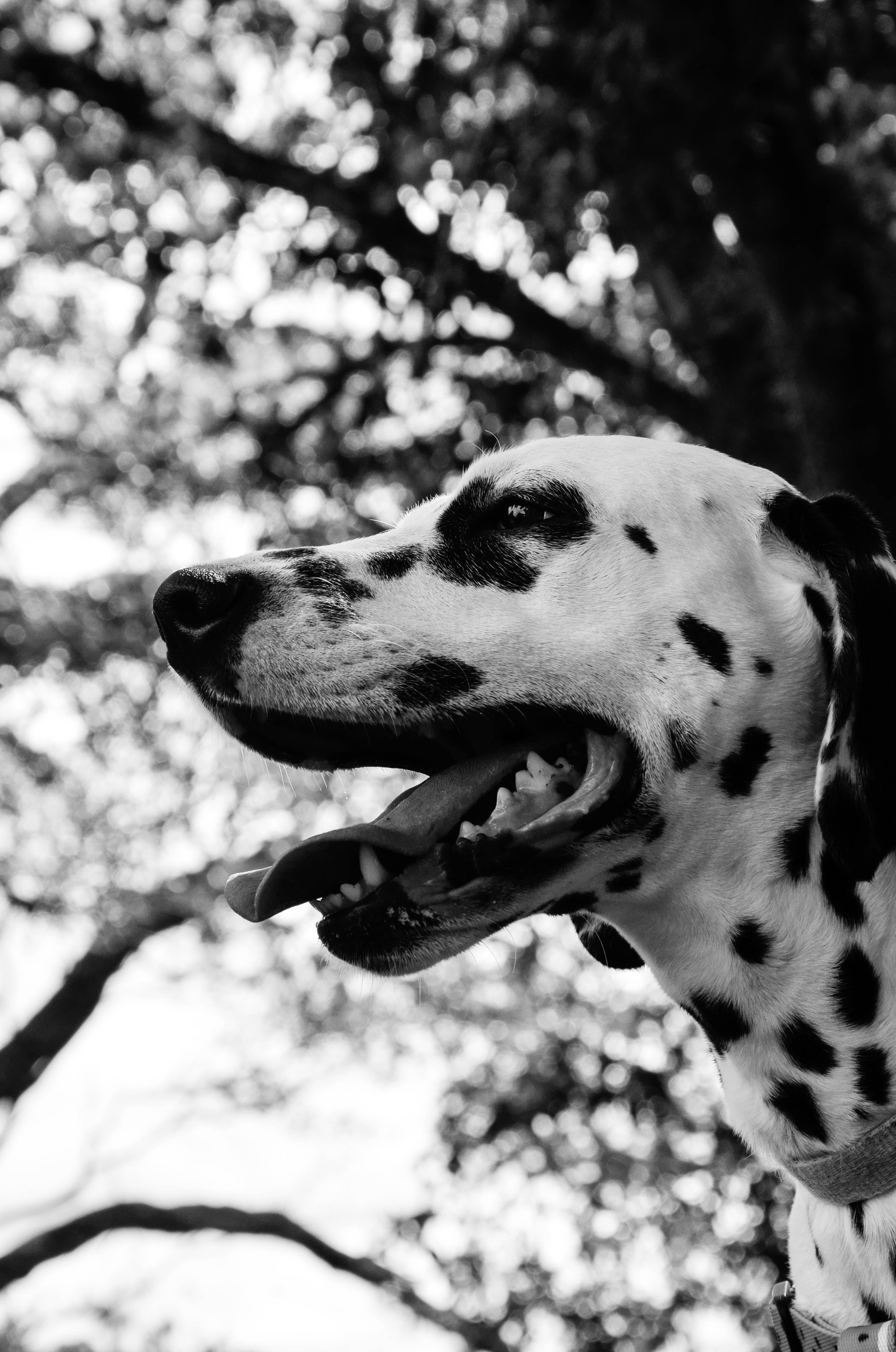 Ilmainen kuvapankkikuva tunnisteilla dalmatialainen, eläimen muotokuva, eläin, katsominen