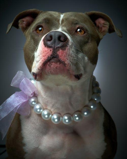 Δωρεάν στοκ φωτογραφιών με lola, pitbull, θηλυκός, κολιέ