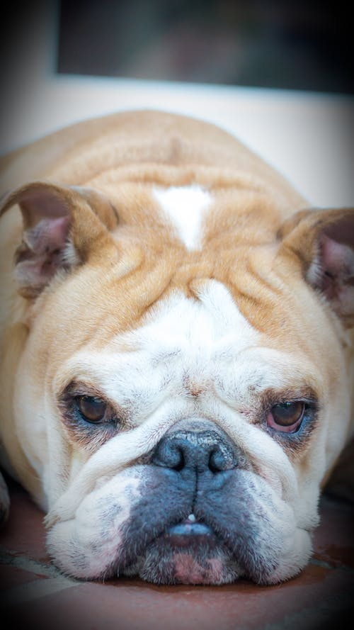 Free stock photo of bulldog, dog, english bulldog, tan