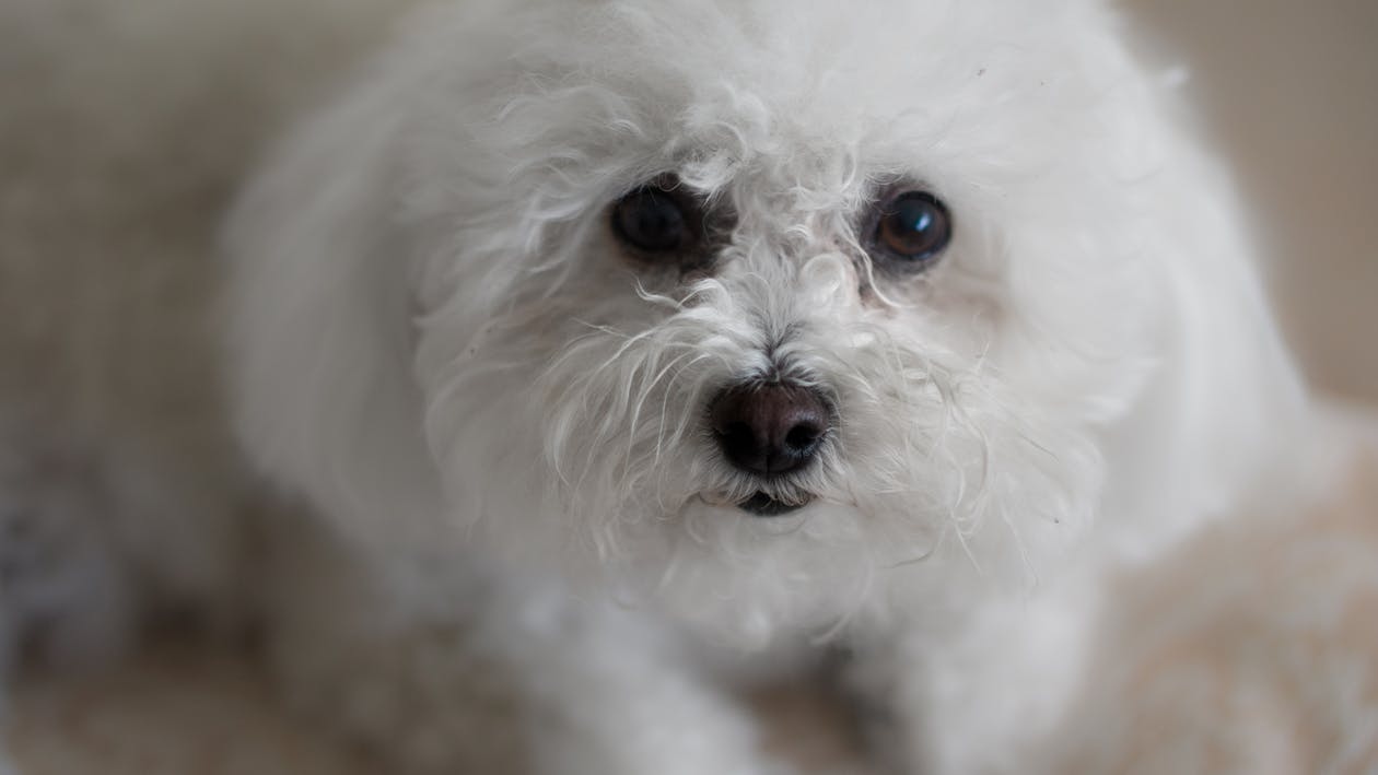 bichon, bichon frize, bílý pes