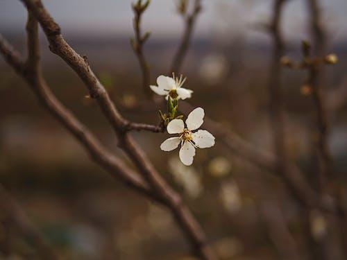 Fotos de stock gratuitas de blanco, flor que se abre, floración