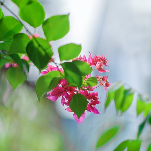 Close-Up Photography of Pink Flowers Near Leaves