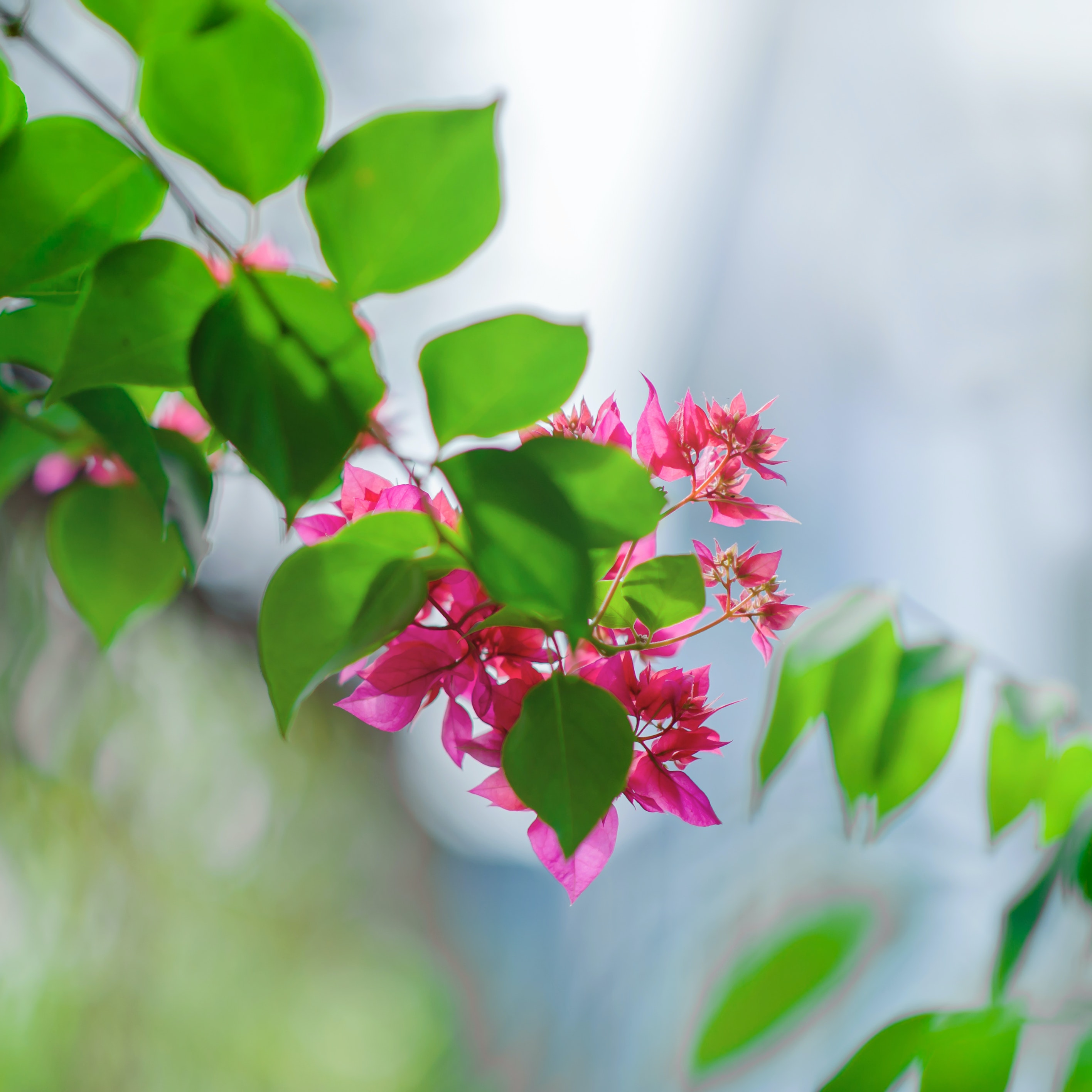 Close Up Photography Of Pink Flowers Near Leaves Free Stock Photo