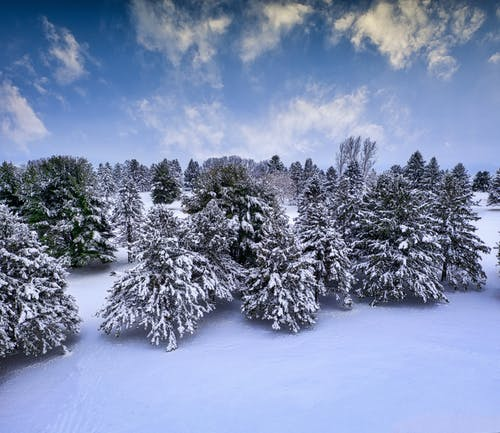Green Trees Covered With Snow