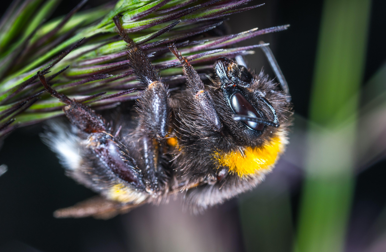 Free stock photo of bumblebee, insect, macro