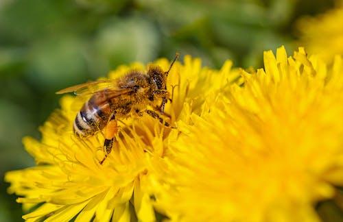 Honeybee  Sucking Nectar on Yellow Flower
