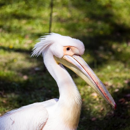 A Close-Up Shot of a White Pelican