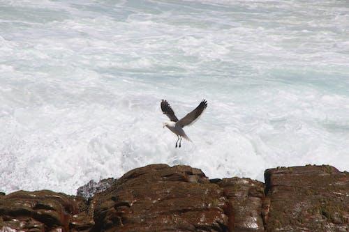 คลังภาพถ่ายฟรี ของ กลางวัน, การถ่ายภาพสัตว์, การบิน, คลื่น
