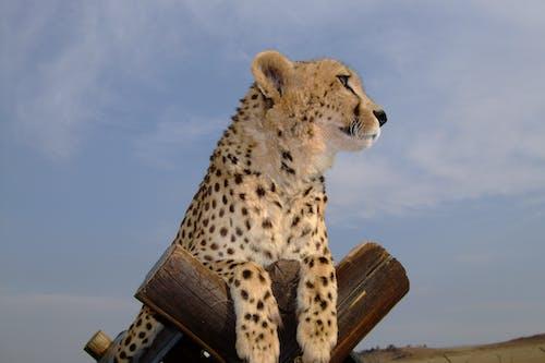 Foto d'estoc gratuïta de depredador de gat gran gatet