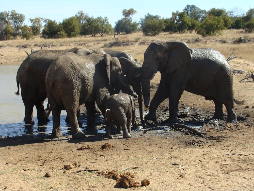 elefant big five