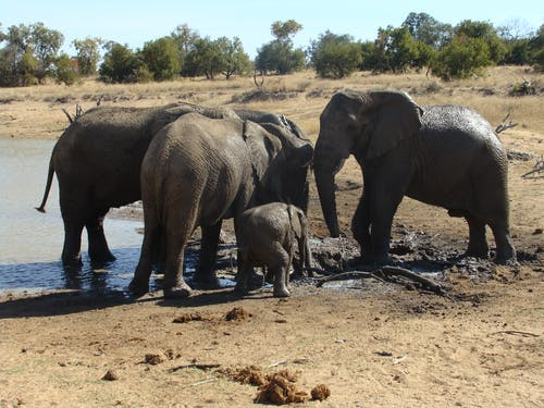 Photos gratuites de elephant big five