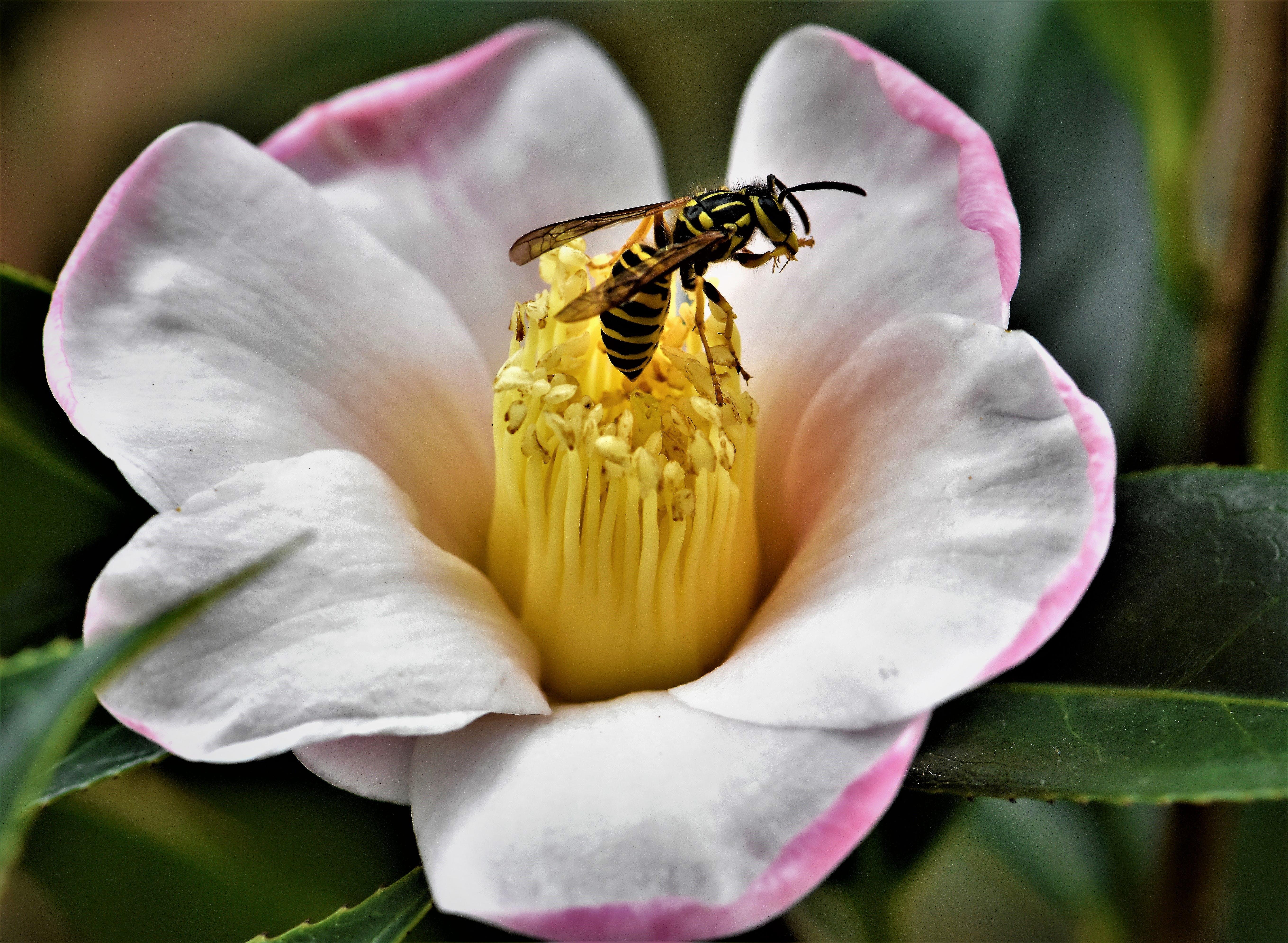 Free stock photo of Wasp on Camelia