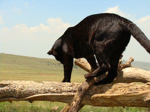 Foto d'estoc gratuïta de depredador de lleopard negre
