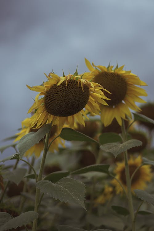 A Close-Up Shot of Yellow Sunflowers