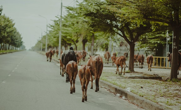 Brown and Black Cattle Walking on Street
